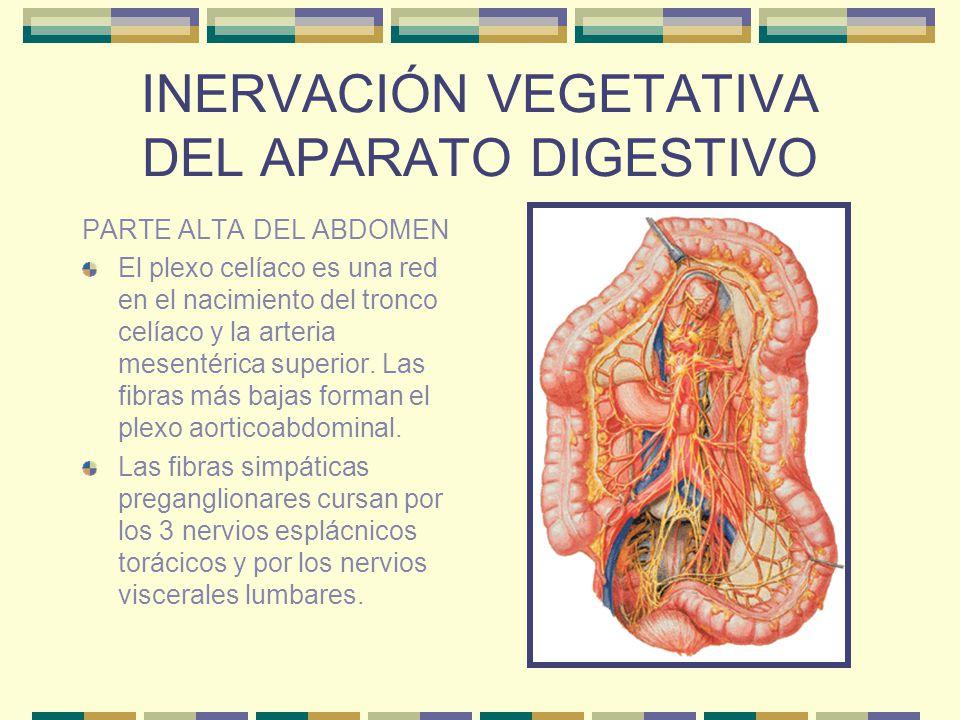 INERVACIÓN VEGETATIVA DEL APARATO DIGESTIVO PARTE ALTA DEL ABDOMEN El plexo celíaco es una red en el nacimiento del tronco celíaco y la arteria mesent