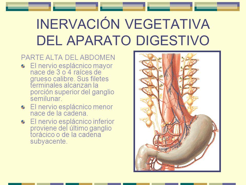 INERVACIÓN VEGETATIVA DEL APARATO DIGESTIVO PARTE ALTA DEL ABDOMEN El nervio esplácnico mayor nace de 3 o 4 raíces de grueso calibre. Sus filetes term