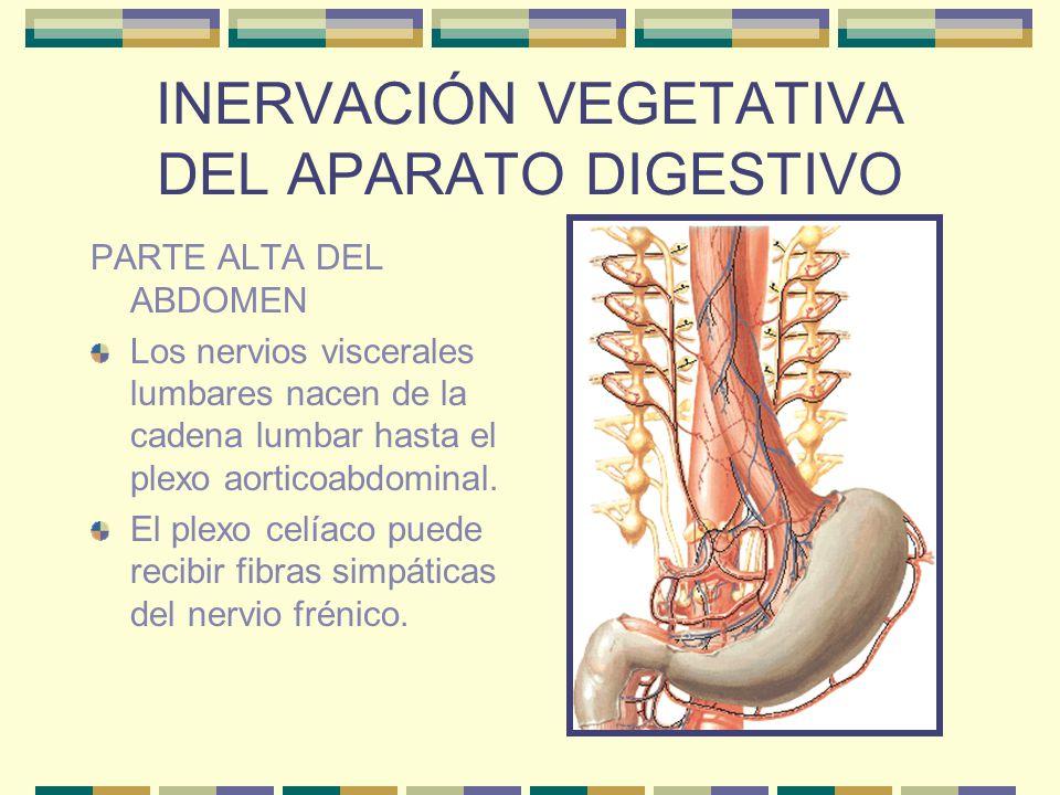 INERVACIÓN VEGETATIVA DEL APARATO DIGESTIVO TERCIO INFERIOR DEL ESÓFAGO Y ESTÓMAGO El plexo esofágico está formado por fibras vagales y recibe filetes de los ganglios torácicos 6° a 10° y nervios torácicos esplácnicos.
