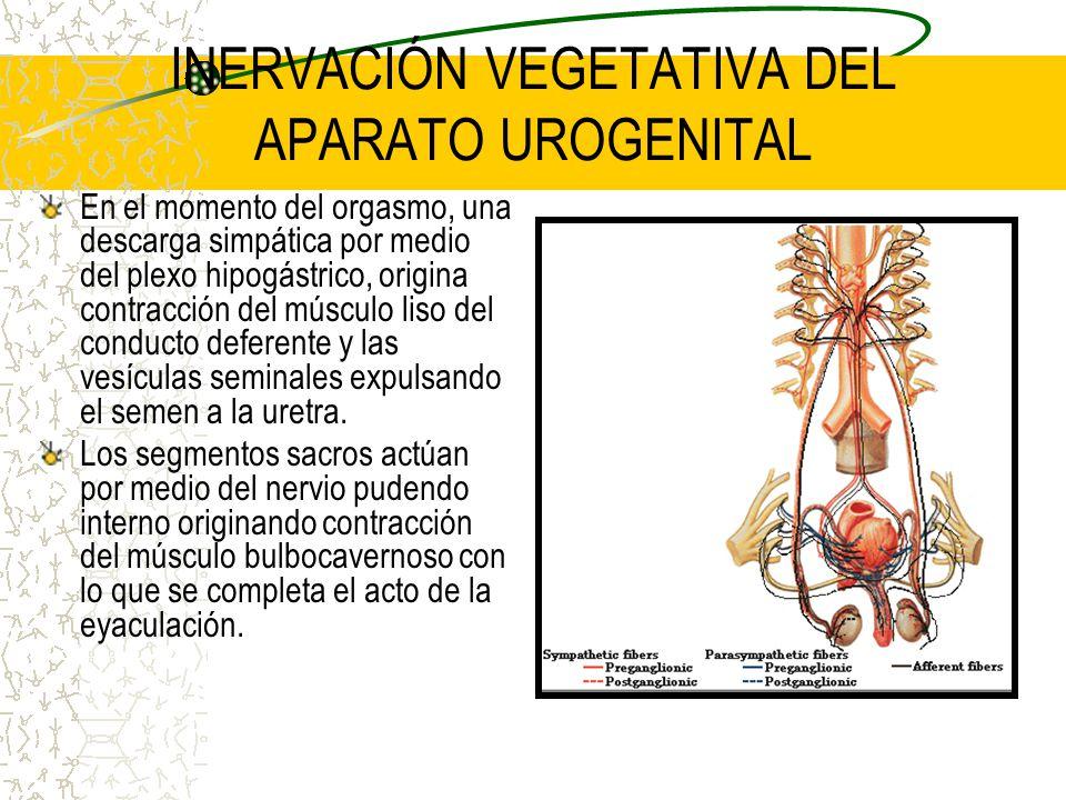 INERVACIÓN VEGETATIVA DEL APARATO UROGENITAL En el momento del orgasmo, una descarga simpática por medio del plexo hipogástrico, origina contracción d