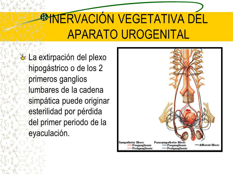 INERVACIÓN VEGETATIVA DEL APARATO UROGENITAL La extirpación del plexo hipogástrico o de los 2 primeros ganglios lumbares de la cadena simpática puede