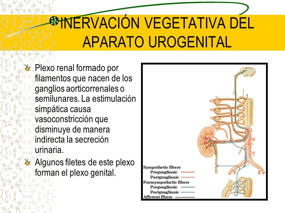Plexo renal formado por filamentos que nacen de los ganglios aorticorrenales o semilunares. La estimulación simpática causa vasoconstricción que dismi