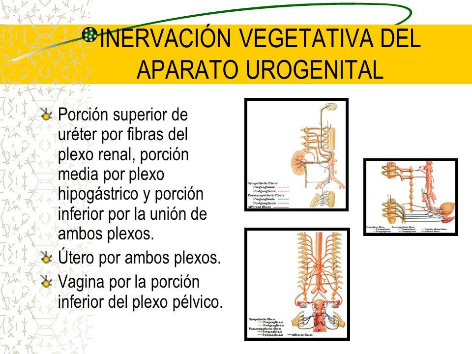 INERVACIÓN VEGETATIVA DEL APARATO UROGENITAL Porción superior de uréter por fibras del plexo renal, porción media por plexo hipogástrico y porción inf