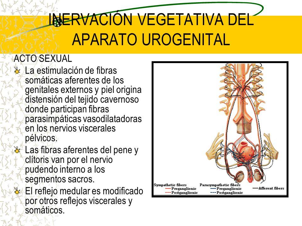 INERVACIÓN VEGETATIVA DEL APARATO UROGENITAL ACTO SEXUAL La estimulación de fibras somáticas aferentes de los genitales externos y piel origina disten