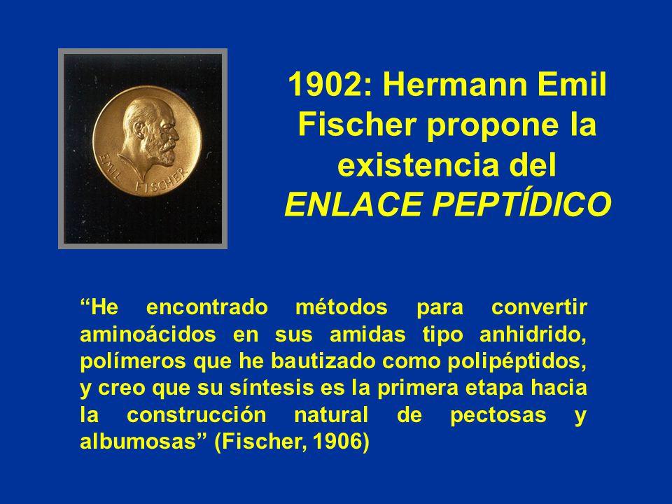 1902: Hermann Emil Fischer propone la existencia del ENLACE PEPTÍDICO He encontrado métodos para convertir aminoácidos en sus amidas tipo anhidrido, p