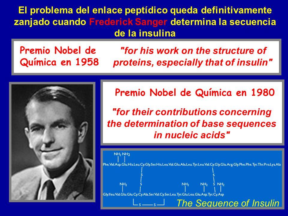 El problema del enlace peptídico queda definitivamente zanjado cuando Frederick Sanger determina la secuencia de la insulina The Sequence of Insulin P