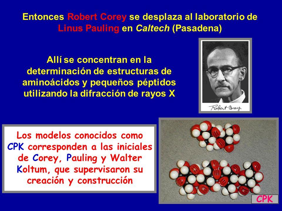 Entonces Robert Corey se desplaza al laboratorio de Linus Pauling en Caltech (Pasadena) Allí se concentran en la determinación de estructuras de amino