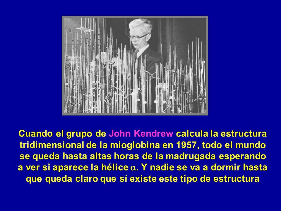 Cuando el grupo de John Kendrew calcula la estructura tridimensional de la mioglobina en 1957, todo el mundo se queda hasta altas horas de la madrugad