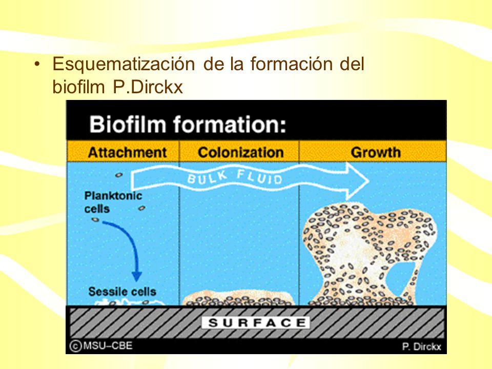 Aunque pegados a una superficie, los microorganismos del biofilm llevan a cabo una variedad de reacciones benéficas o perjudiciales, desde el punto de