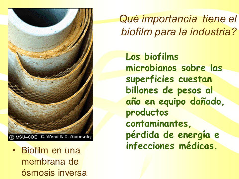 Esquematización de la formación del biofilm P.Dirckx