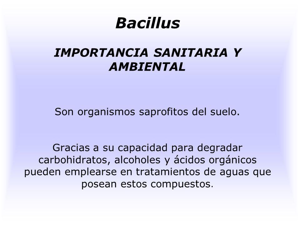 Bacillus FUNCIONES Muchos producen antibióticos como la garamicidina, tiroxidina entre otros. Algunos elaboran enzimas hidrofilicas que descomponen po