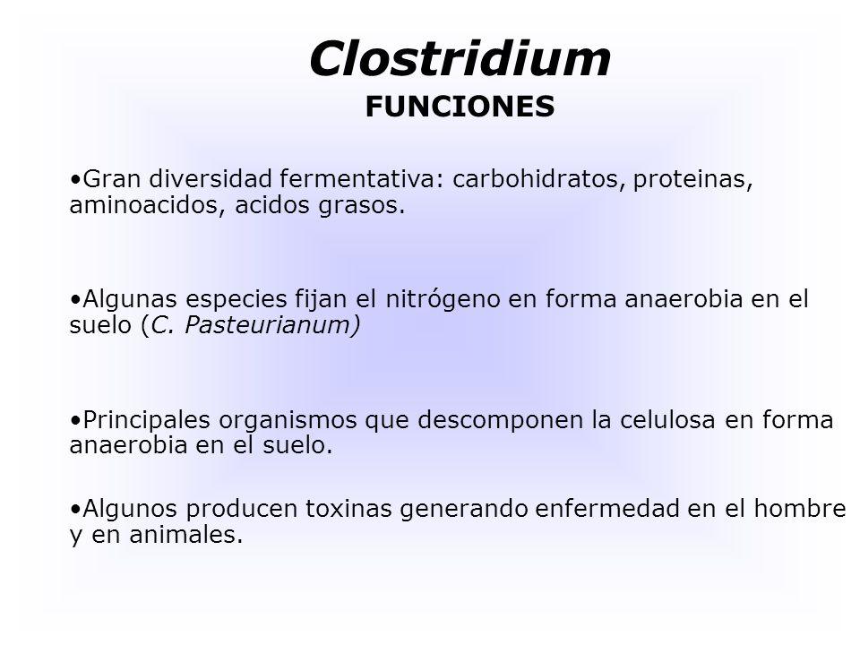 Clostridium HABITAT Se encuentran en el suelo, donde viven en bolsas anóxicas, que se han convertido en tales sobre todo por la acción de diferentes organismos al metabolizar diferentes compuestos orgánicos presentes en el suelo.