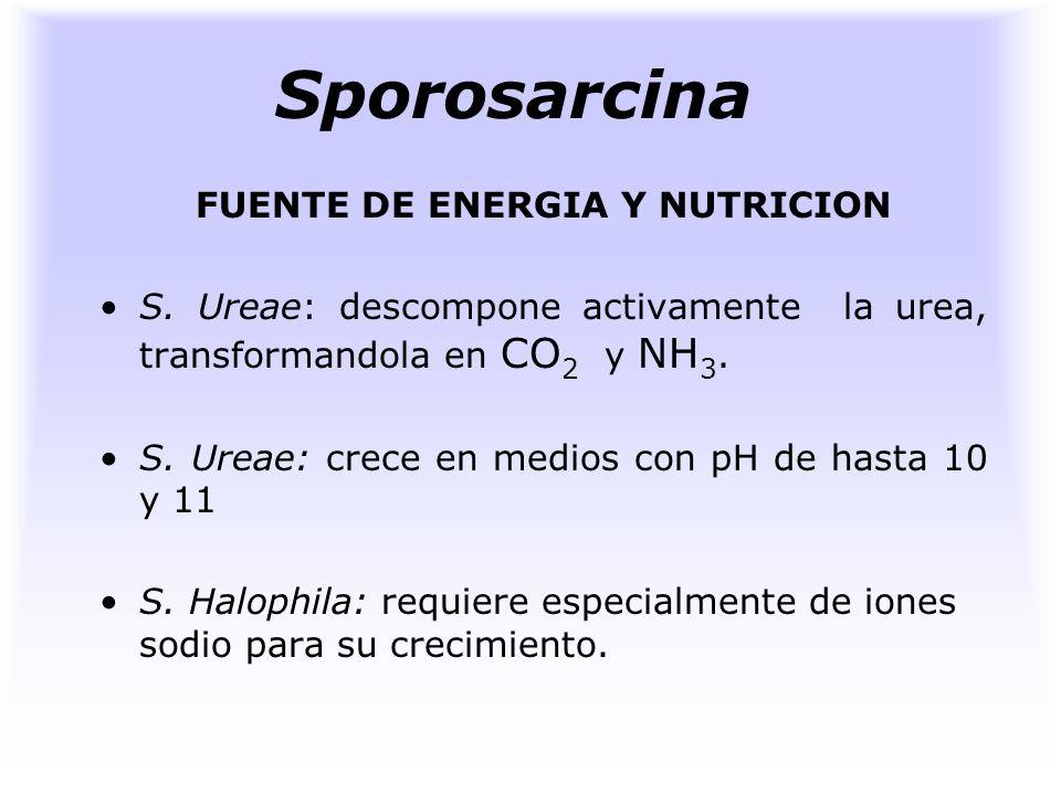 Sporosarcina HABITAT S. ureae: en suelos y en cantidades mayores en aquellos que reciben aportes de orina. S. Halophila: es de origen marino.