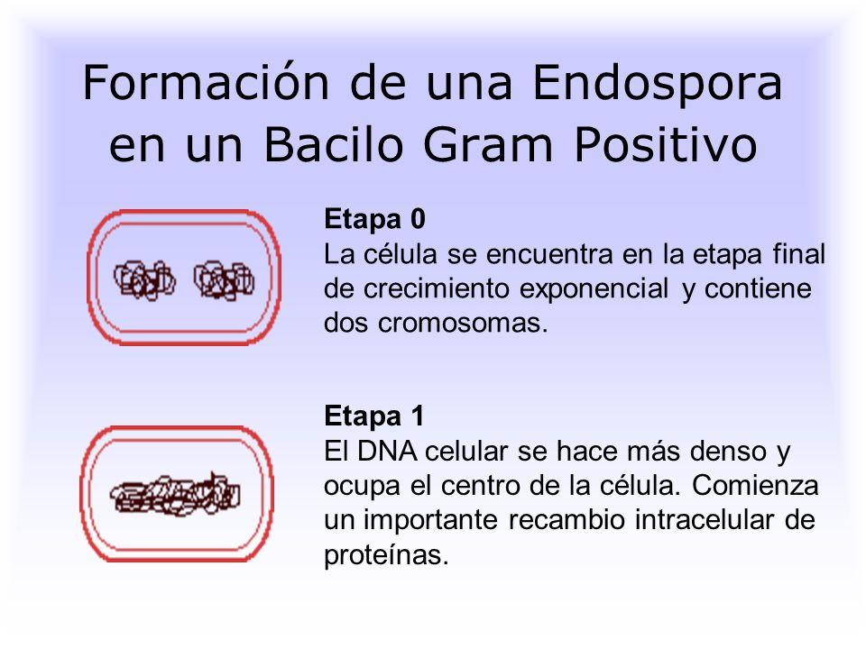 Formación de una Endospora en un Bacilo Gram Positivo Etapa 0 La célula se encuentra en la etapa final de crecimiento exponencial y contiene dos cromosomas.