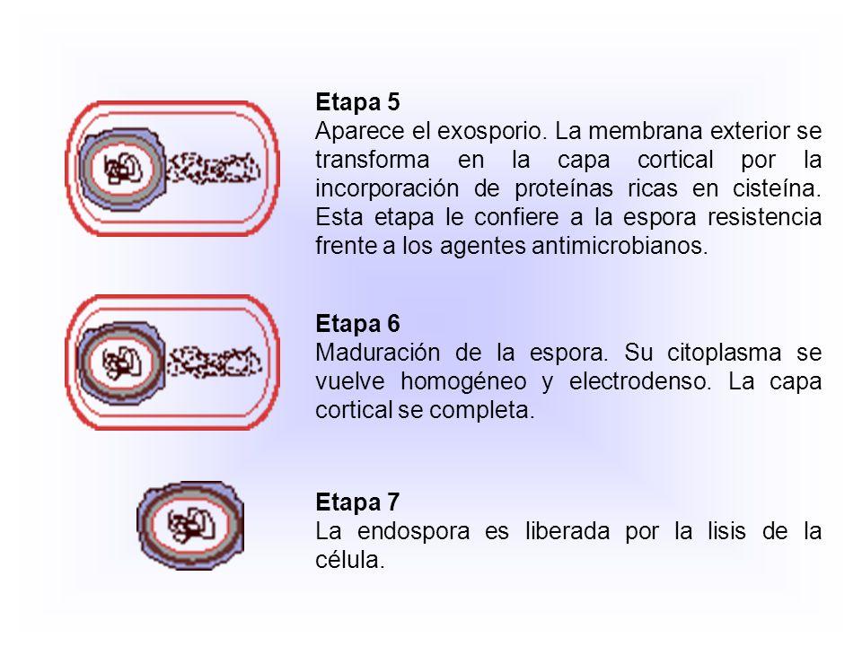 Etapa 2 Se forma un tabique (septo) cerca del polo celular a causa de la invaginación de la membrana citoplasmática.