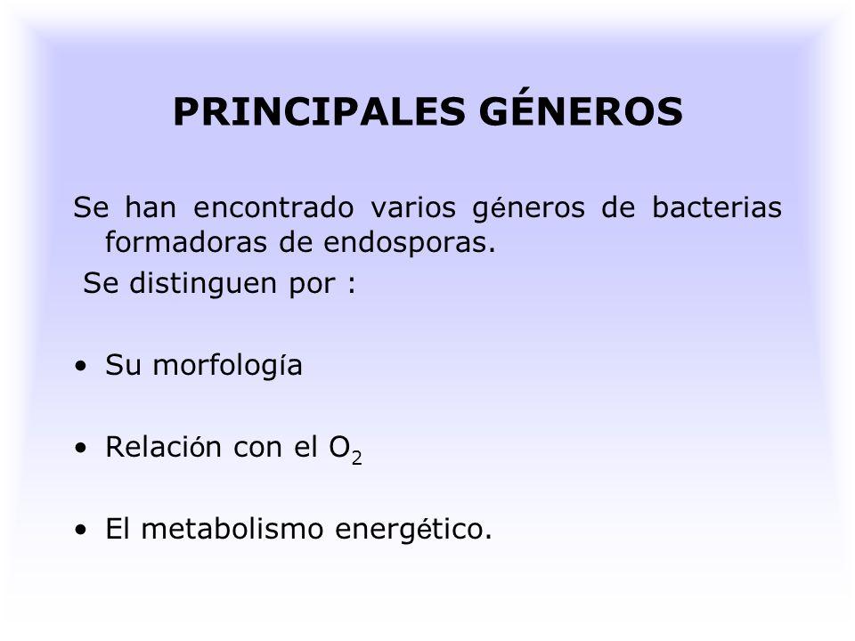 Bacillus FUNCIONES Muchos producen antibióticos como la garamicidina, tiroxidina entre otros.