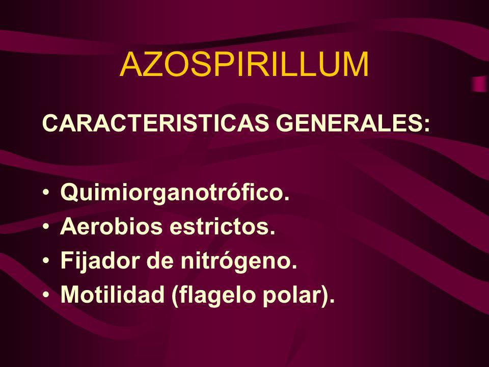AZOSPIRILLUM CARACTERISTICAS GENERALES: Quimiorganotrófico. Aerobios estrictos. Fijador de nitrógeno. Motilidad (flagelo polar).