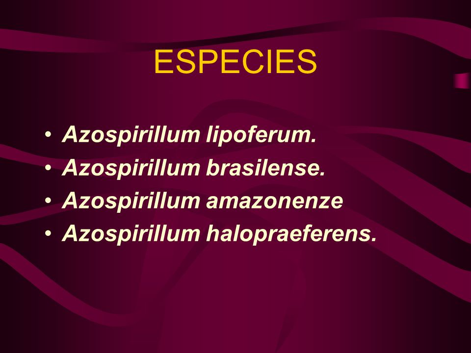 ESPECIES Azospirillum lipoferum. Azospirillum brasilense. Azospirillum amazonenze Azospirillum halopraeferens.