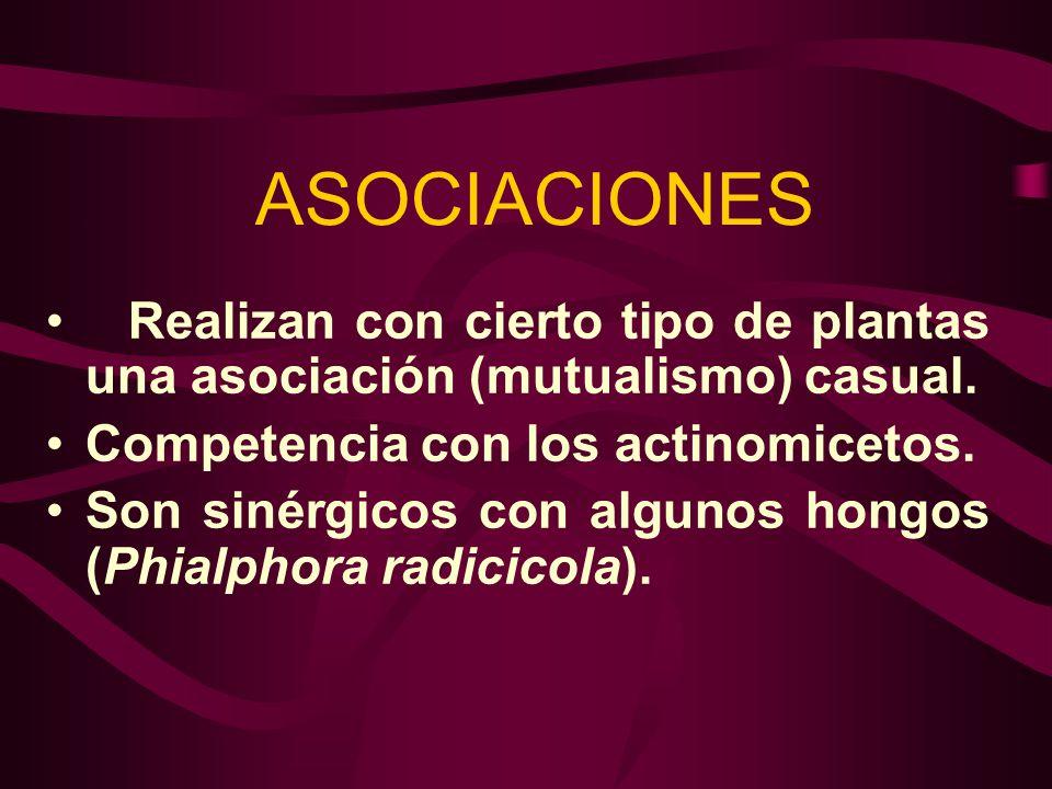 ASOCIACIONES Realizan con cierto tipo de plantas una asociación (mutualismo) casual. Competencia con los actinomicetos. Son sinérgicos con algunos hon