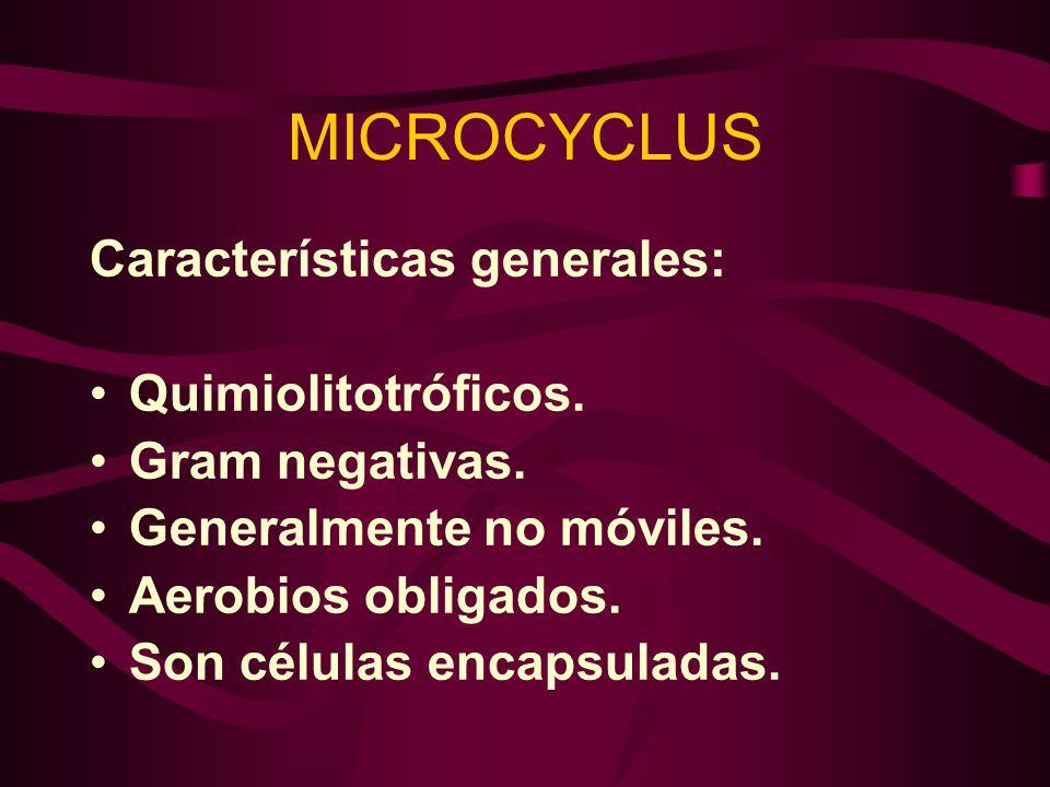 MICROCYCLUS Características generales: Quimiolitotróficos. Gram negativas. Generalmente no móviles. Aerobios obligados. Son células encapsuladas.