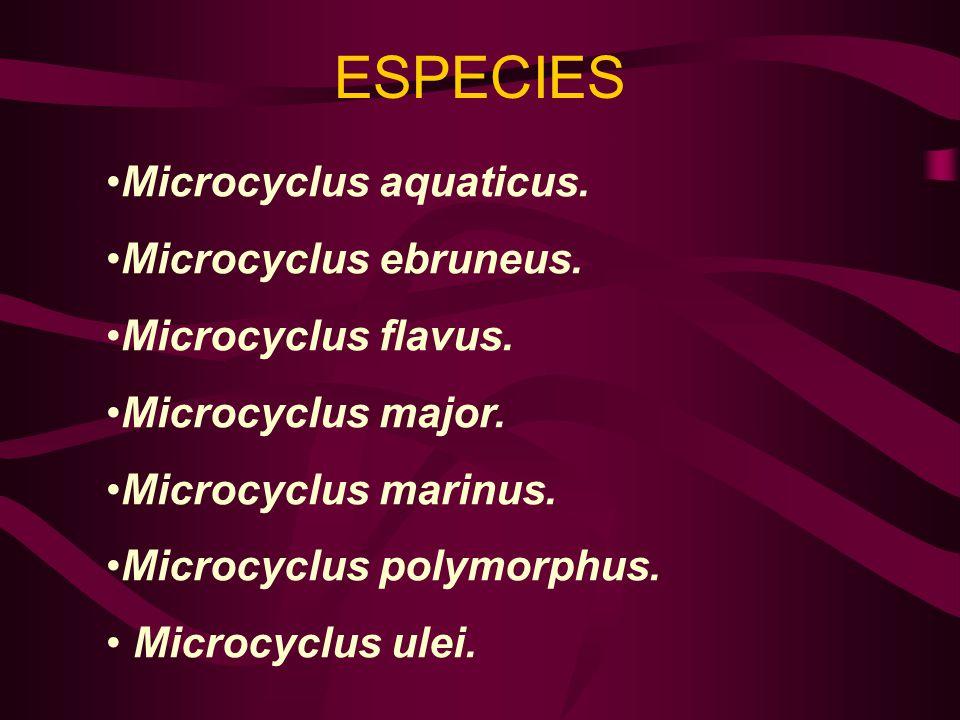 ESPECIES Microcyclus aquaticus. Microcyclus ebruneus. Microcyclus flavus. Microcyclus major. Microcyclus marinus. Microcyclus polymorphus. Microcyclus
