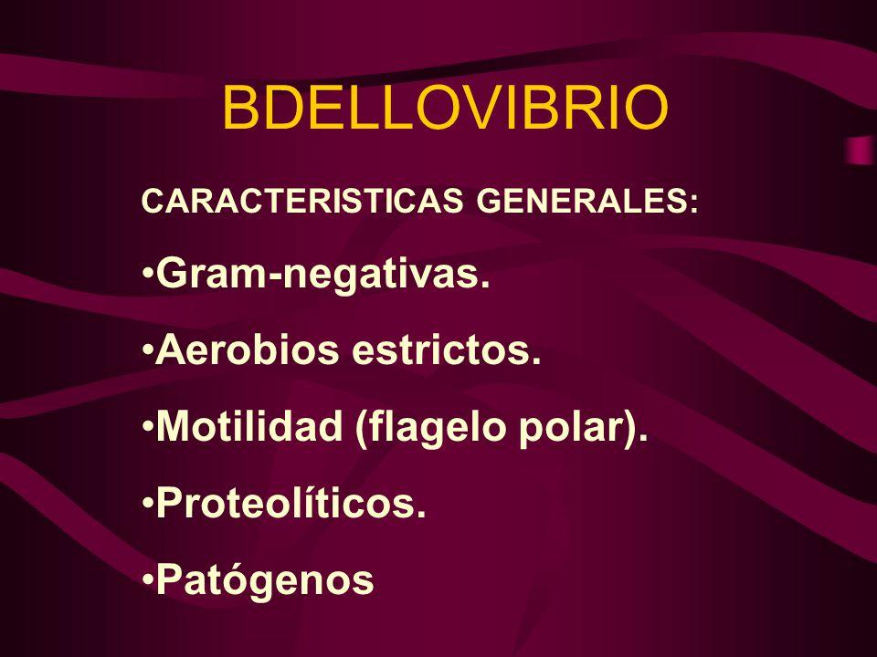 BDELLOVIBRIO CARACTERISTICAS GENERALES: Gram-negativas. Aerobios estrictos. Motilidad (flagelo polar). Proteolíticos. Patógenos