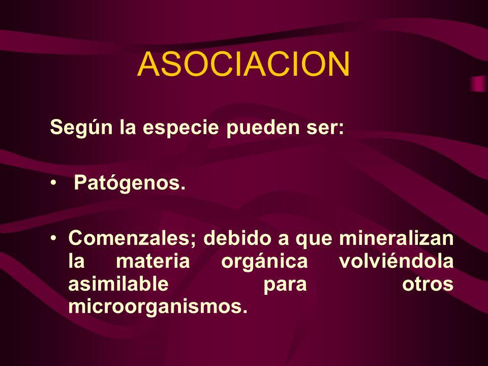 ASOCIACION Según la especie pueden ser: Patógenos. Comenzales; debido a que mineralizan la materia orgánica volviéndola asimilable para otros microorg