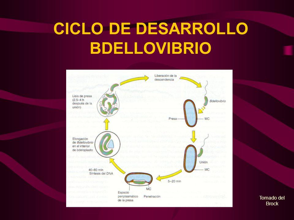 CICLO DE DESARROLLO BDELLOVIBRIO Tomado del Brock