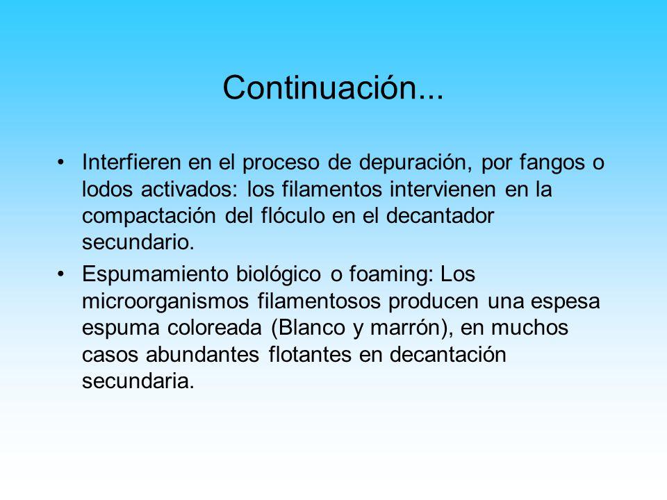 Continuación... Interfieren en el proceso de depuración, por fangos o lodos activados: los filamentos intervienen en la compactación del flóculo en el