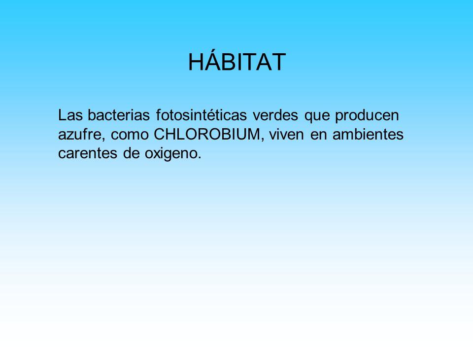 PAPEL QUE DESEMPEÑA EL MEDIO AMBIENTE Le dan el color verde característico a las aguas que habitan Pueden formar una capa de producción primaria de Biomasa (en esta zona se encuentran especies como LAMPROCYSTIS, AMOEBOBACTER, THIODICTYON, THIOPEDIA, PELODICTYON.