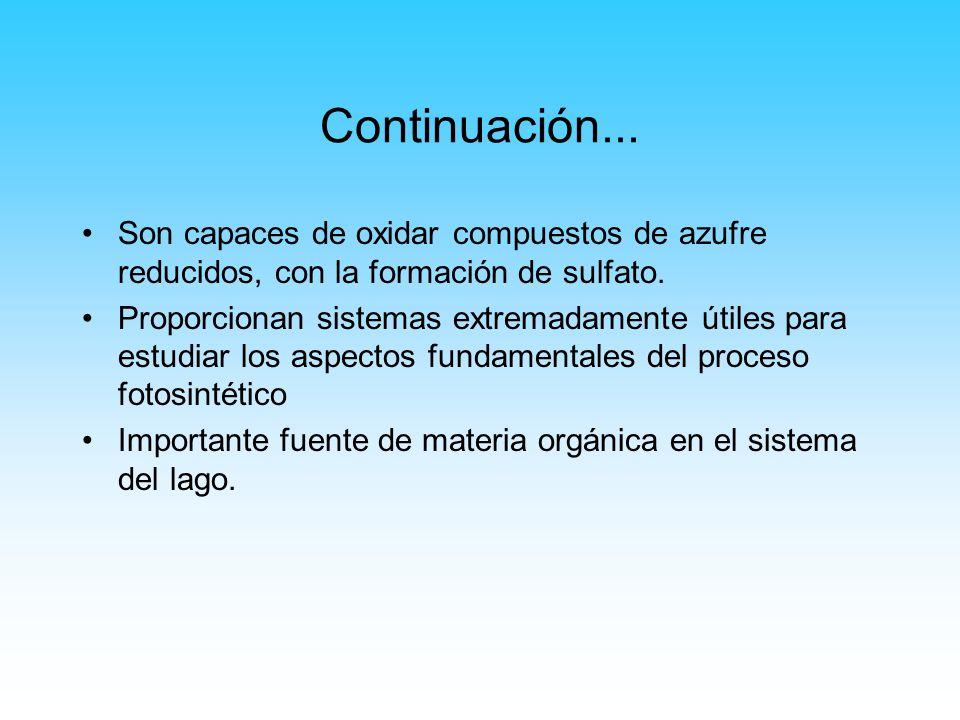 Continuación... Son capaces de oxidar compuestos de azufre reducidos, con la formación de sulfato. Proporcionan sistemas extremadamente útiles para es