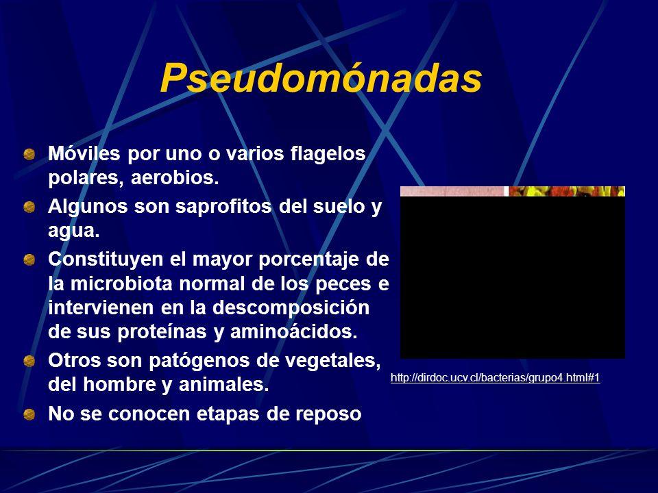 Hyphomicrobium Bacteria quimioheterotrofa aerobia.