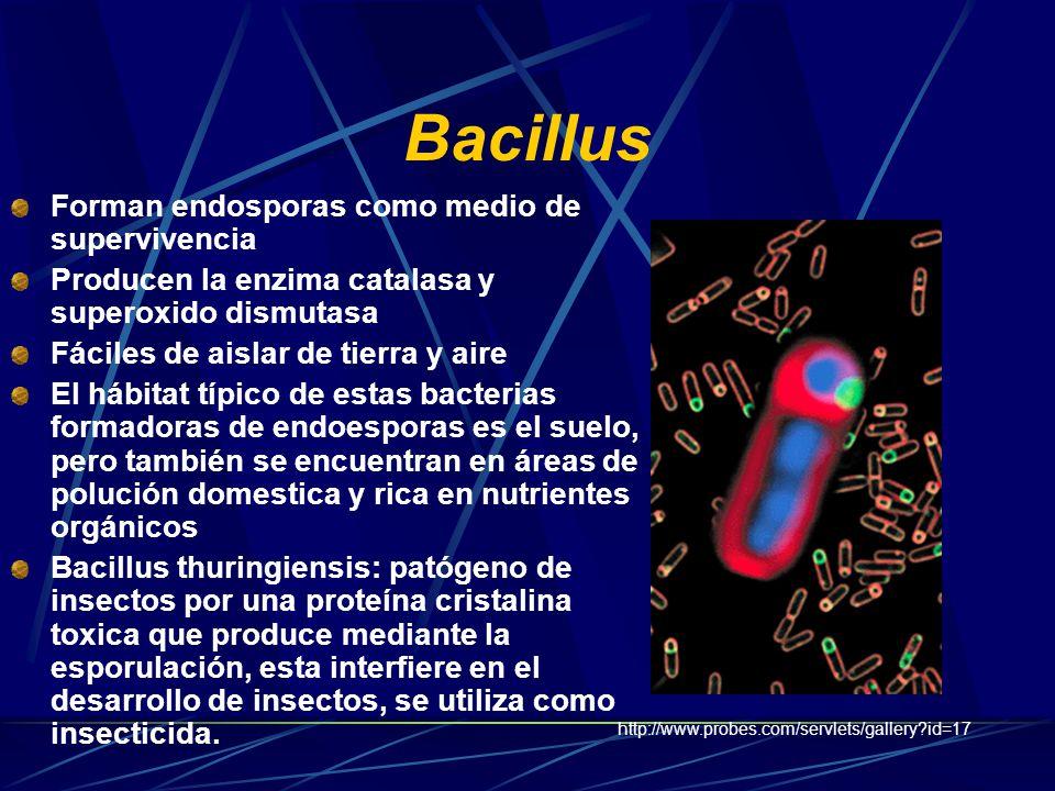 Pseudomónadas Algunos desnitrifican Pseudomonas y Bacillus son talvez los mas comunes en lagunas de estabilizacion Usan el ciclo serina para asimilar los substratos C1 Pseudomona extorquens: Facultativa, consume metanol http://www.aqfk.qc.ca/aqfk/images/Pseudomonas.jpg