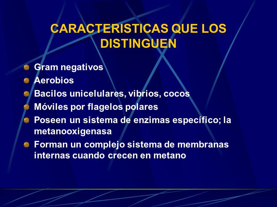 CARACTERISTICAS QUE LOS DISTINGUEN Gram negativos Aerobios Bacilos unicelulares, vibrios, cocos Móviles por flagelos polares Poseen un sistema de enzimas específico; la metanooxigenasa Forman un complejo sistema de membranas internas cuando crecen en metano