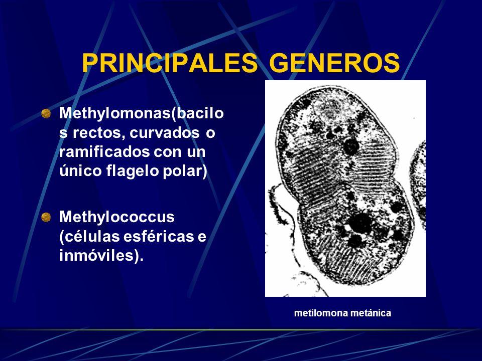 PRINCIPALES GENEROS Methylomonas(bacilo s rectos, curvados o ramificados con un único flagelo polar) Methylococcus (células esféricas e inmóviles).