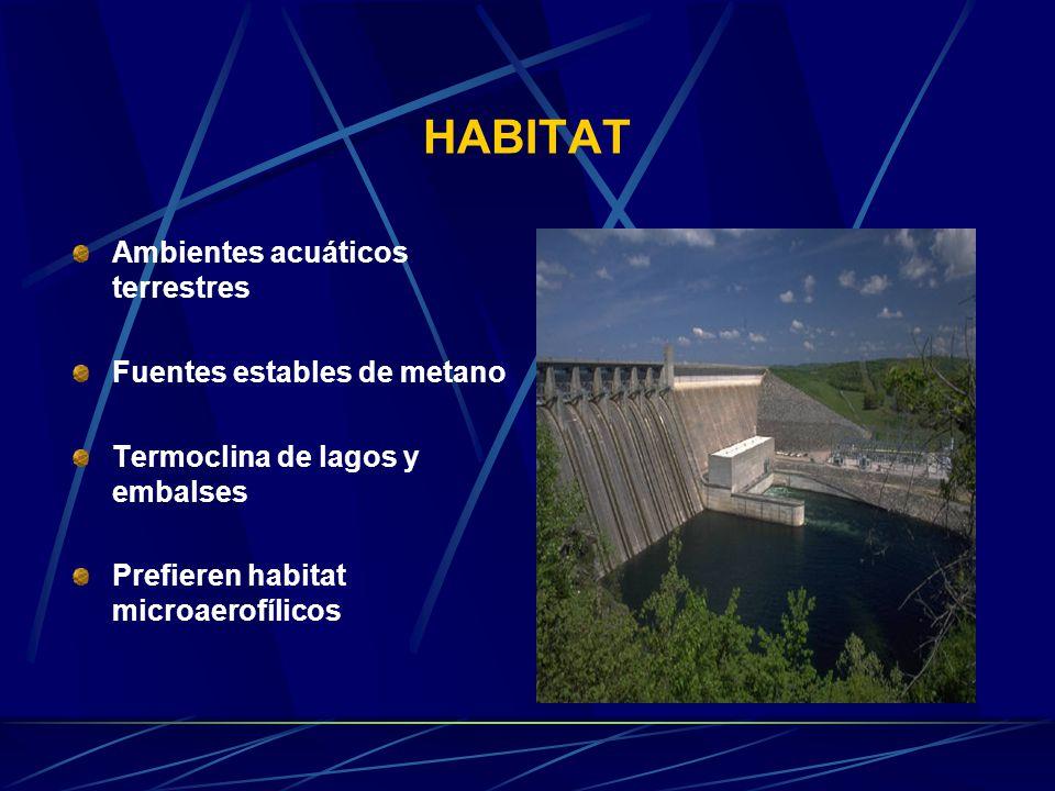 HABITAT Ambientes acuáticos terrestres Fuentes estables de metano Termoclina de lagos y embalses Prefieren habitat microaerofílicos