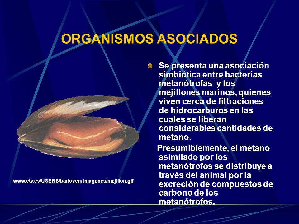 ORGANISMOS ASOCIADOS Se presenta una asociación simbiótica entre bacterias metanótrofas y los mejillones marinos, quienes viven cerca de filtraciones de hidrocarburos en las cuales se liberan considerables cantidades de metano.