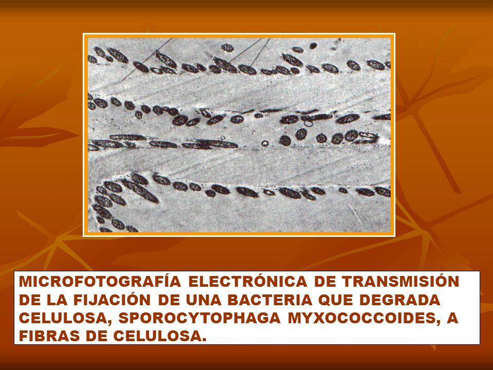 MICROFOTOGRAFÍA ELECTRÓNICA DE TRANSMISIÓN DE LA FIJACIÓN DE UNA BACTERIA QUE DEGRADA CELULOSA, SPOROCYTOPHAGA MYXOCOCCOIDES, A FIBRAS DE CELULOSA.