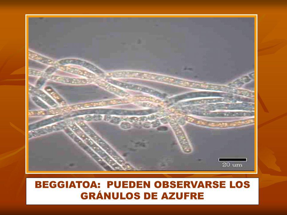 BEGGIATOA: PUEDEN OBSERVARSE LOS GRÁNULOS DE AZUFRE