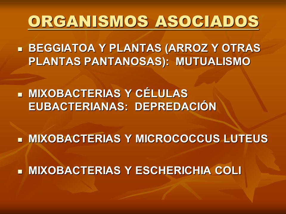 ORGANISMOS ASOCIADOS BEGGIATOA Y PLANTAS (ARROZ Y OTRAS PLANTAS PANTANOSAS): MUTUALISMO BEGGIATOA Y PLANTAS (ARROZ Y OTRAS PLANTAS PANTANOSAS): MUTUAL