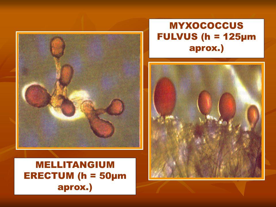 MELLITANGIUM ERECTUM (h = 50µm aprox.) MYXOCOCCUS FULVUS (h = 125µm aprox.)