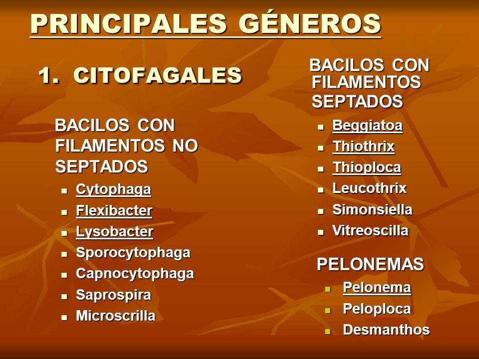 PRINCIPALES GÉNEROS 1. CITOFAGALES BACILOS CON FILAMENTOS NO SEPTADOS BACILOS CON FILAMENTOS NO SEPTADOS Cytophaga Cytophaga Flexibacter Flexibacter L