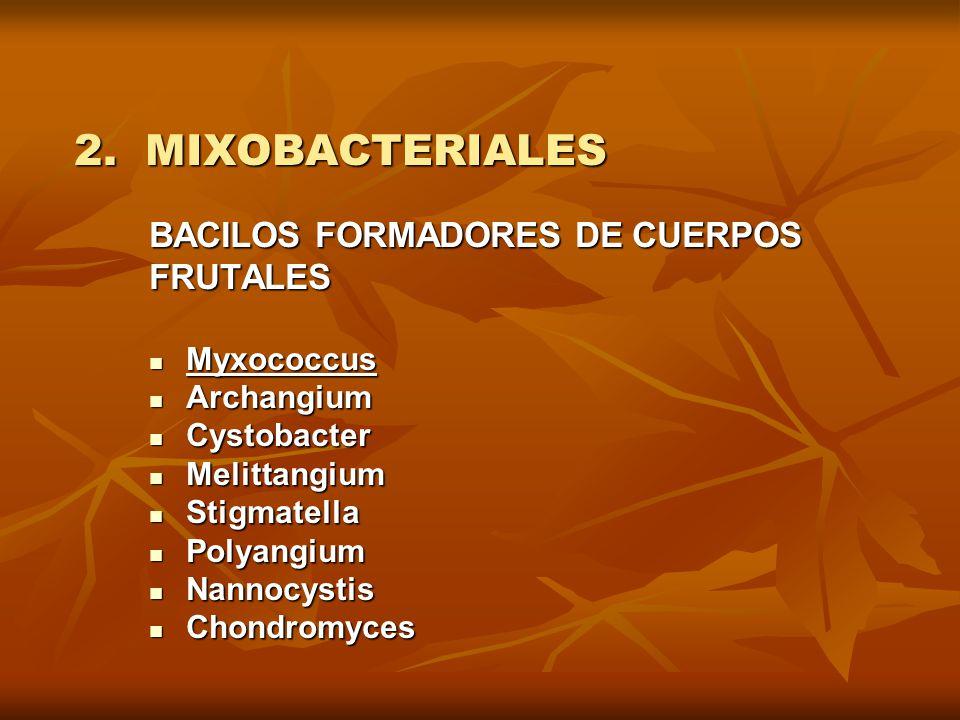 2. MIXOBACTERIALES BACILOS FORMADORES DE CUERPOS FRUTALES Myxococcus Myxococcus Archangium Archangium Cystobacter Cystobacter Melittangium Melittangiu
