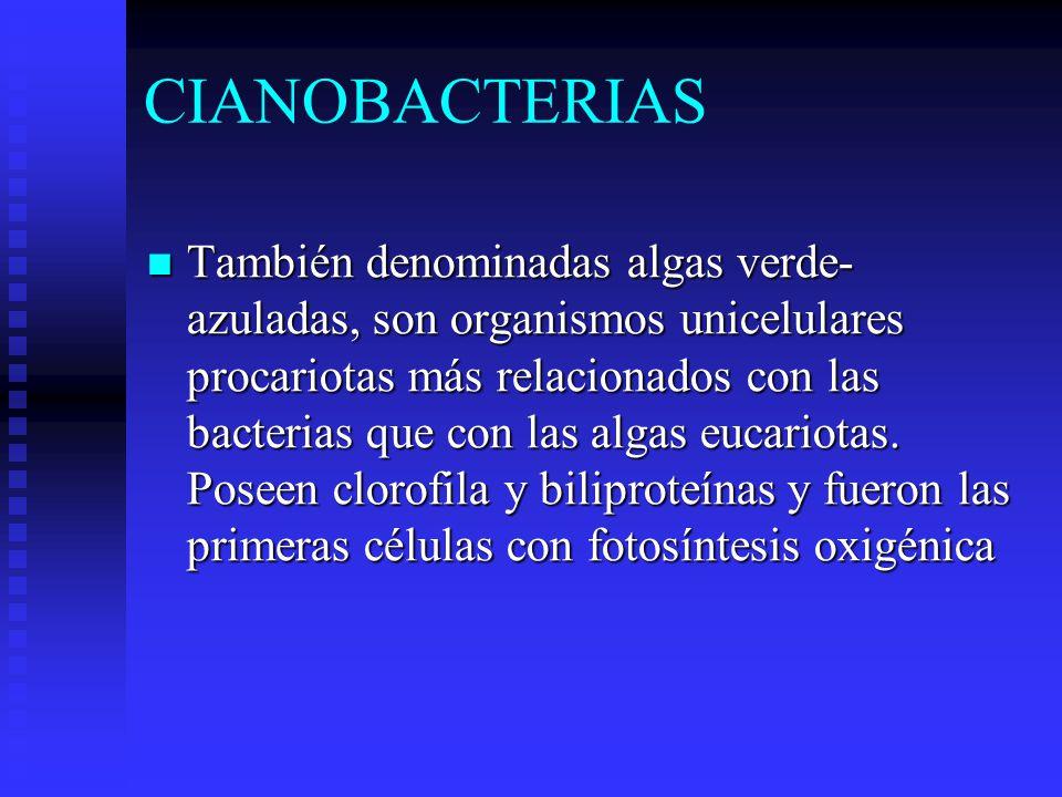 CIANOBACTERIAS También denominadas algas verde- azuladas, son organismos unicelulares procariotas más relacionados con las bacterias que con las algas eucariotas.