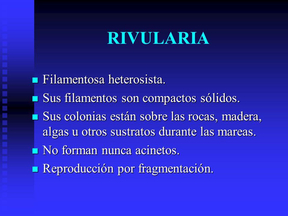 RIVULARIA Filamentosa heterosista.Filamentosa heterosista.