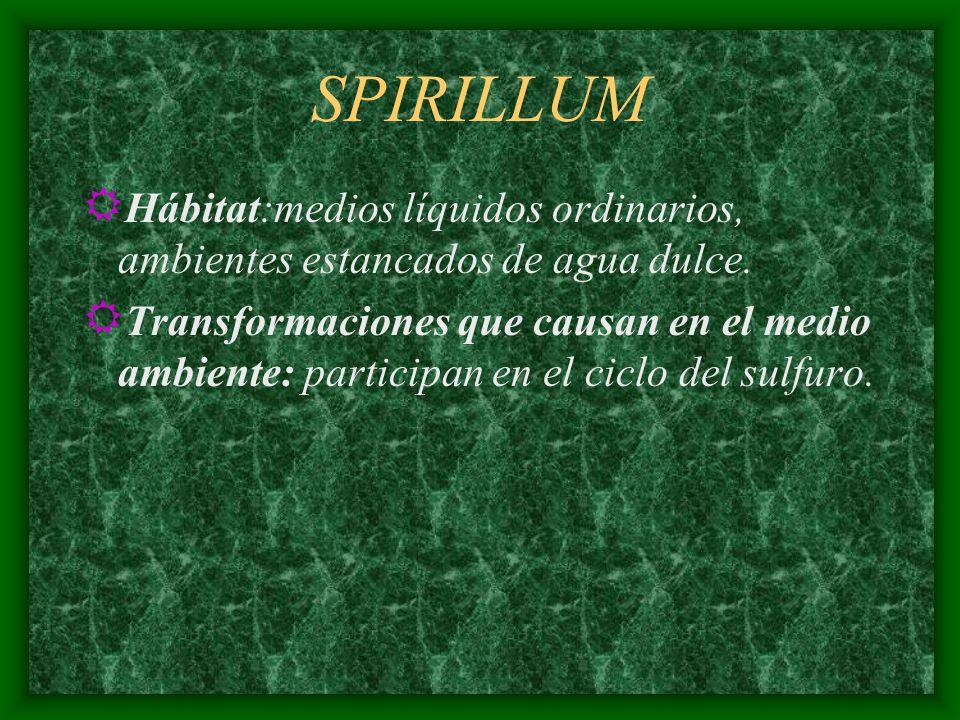 SPIRILLUM R Hábitat:medios líquidos ordinarios, ambientes estancados de agua dulce. R Transformaciones que causan en el medio ambiente: participan en