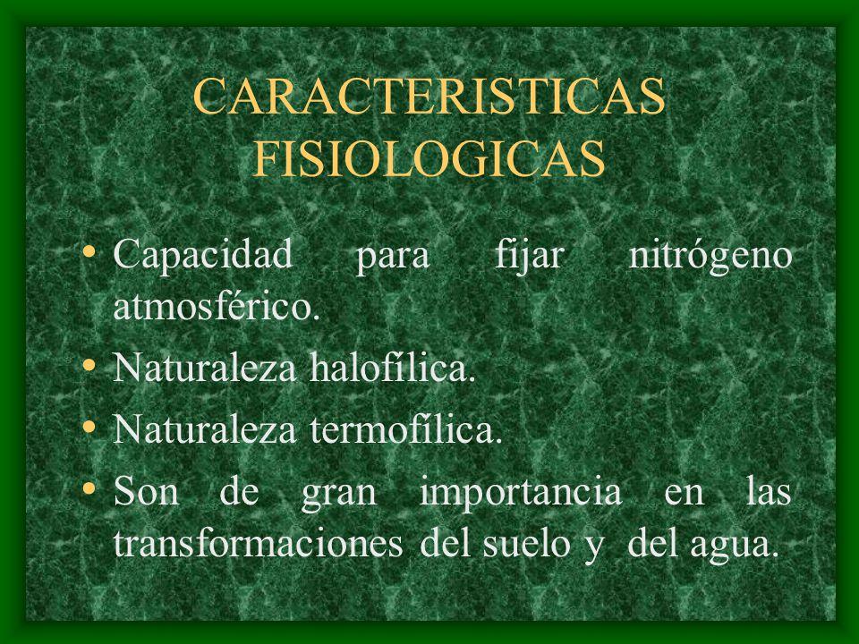 CARACTERISTICAS FISIOLOGICAS Capacidad para fijar nitrógeno atmosférico. Naturaleza halofílica. Naturaleza termofílica. Son de gran importancia en las