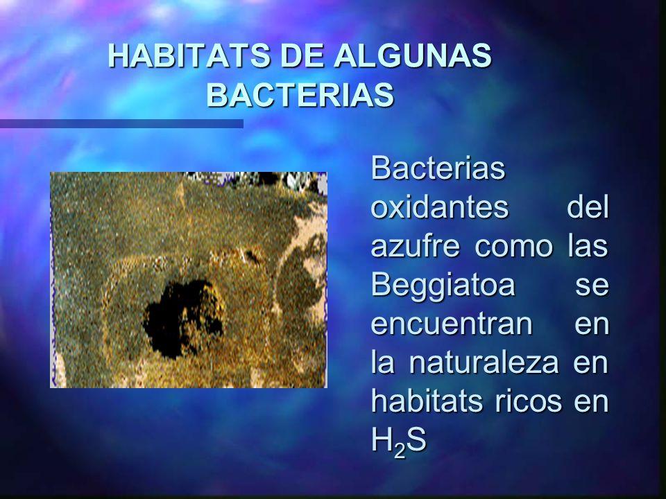 HABITATS DE ALGUNAS BACTERIAS Bacterias oxidantes del azufre como las Beggiatoa se encuentran en la naturaleza en habitats ricos en H 2 S