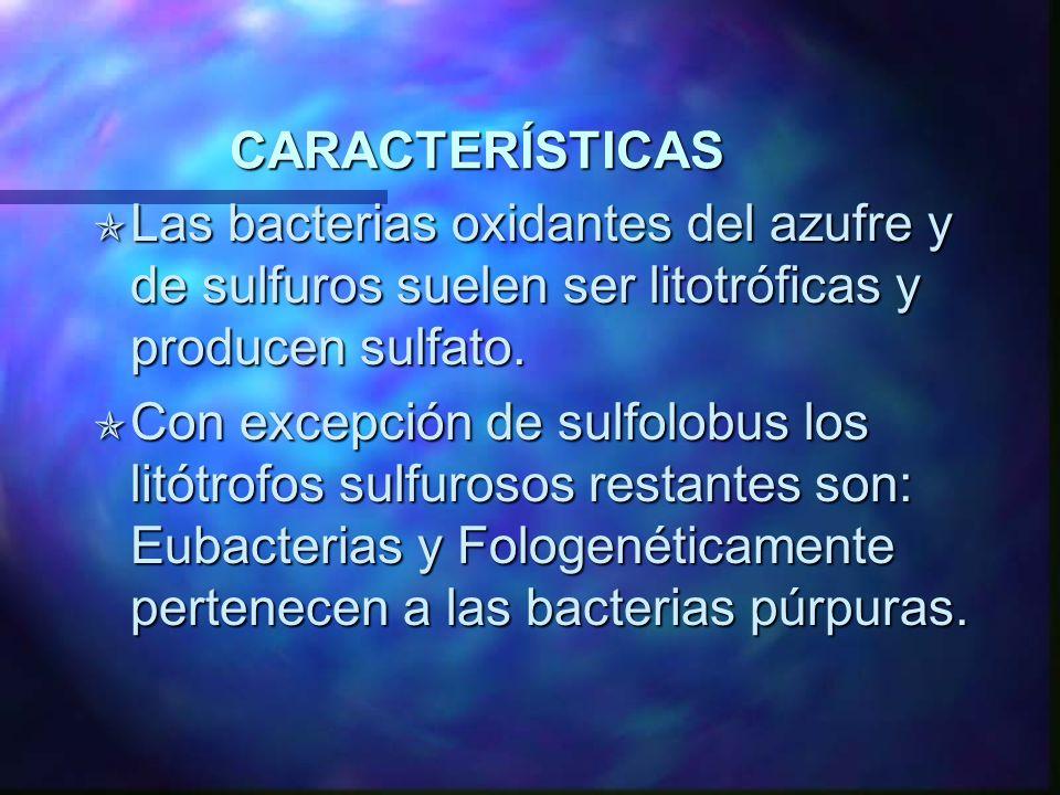CARACTERÍSTICAS Las bacterias oxidantes del azufre y de sulfuros suelen ser litotróficas y producen sulfato. Las bacterias oxidantes del azufre y de s