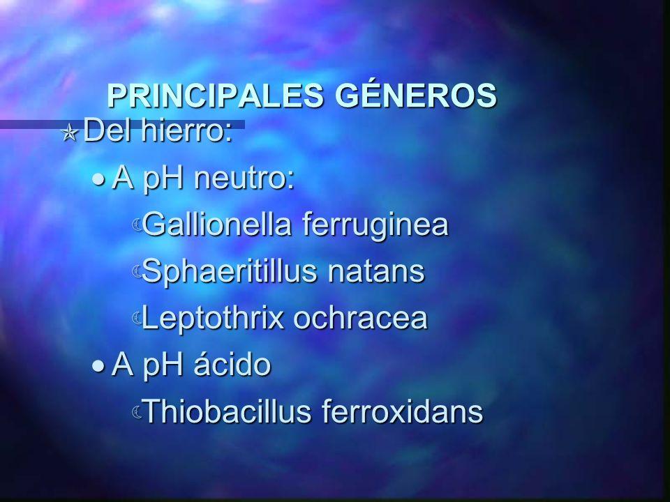 PRINCIPALES GÉNEROS Del hierro: Del hierro: A pH neutro: A pH neutro: Gallionella ferruginea Gallionella ferruginea Sphaeritillus natans Sphaeritillus